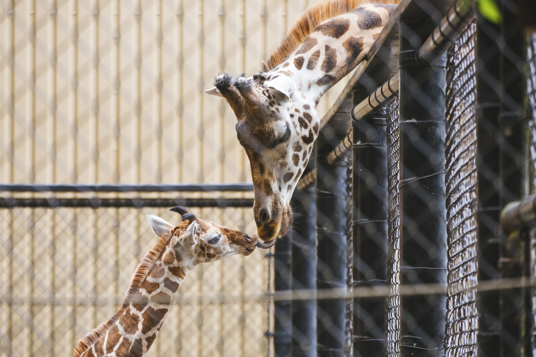 Meet Hasani, the zoo's newest giraffe - born on May 2, 2019 at the Woodland Park Zoo to mom, Olivia. After birth, the zoo's team noticed Hasani's rear foot wasn't in normal alignment, and immediately got him into casts to help stabilize the limbs. A Kentucky specialist visited Hasani, and crafted custom shoes to do the heavy lifting in the next phase of treatment of the baby'r rear leg abnormalities. (Image: Sunita Martini / Seattle Refined)
