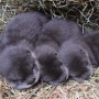 Buttonwood Park Zoo welcomes trio of North American river otter pups