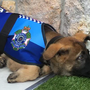 Puppy deemed too sweet to be police dog gets new job