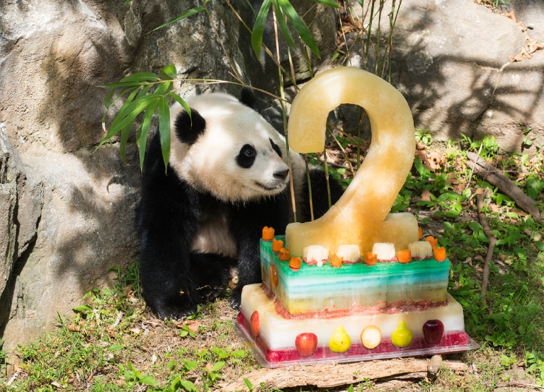 Bao Bao's second birthday - August 23, 2015. (Image courtesy of Jim and Pam Jenkins, Smithsonian's National Zoo)