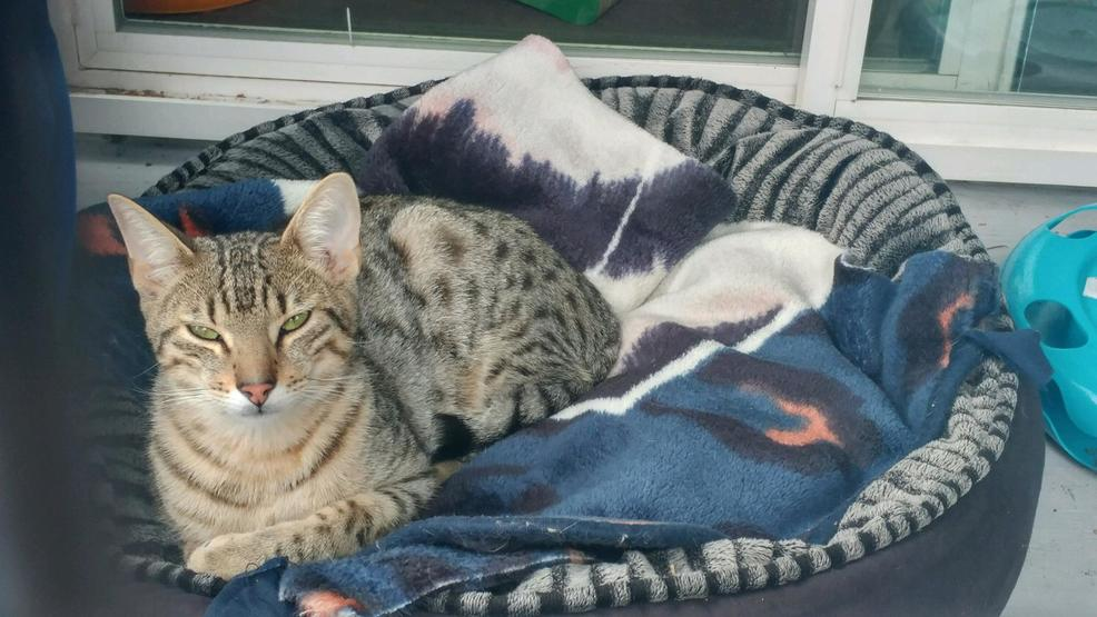 King County Animal Shelter Cats