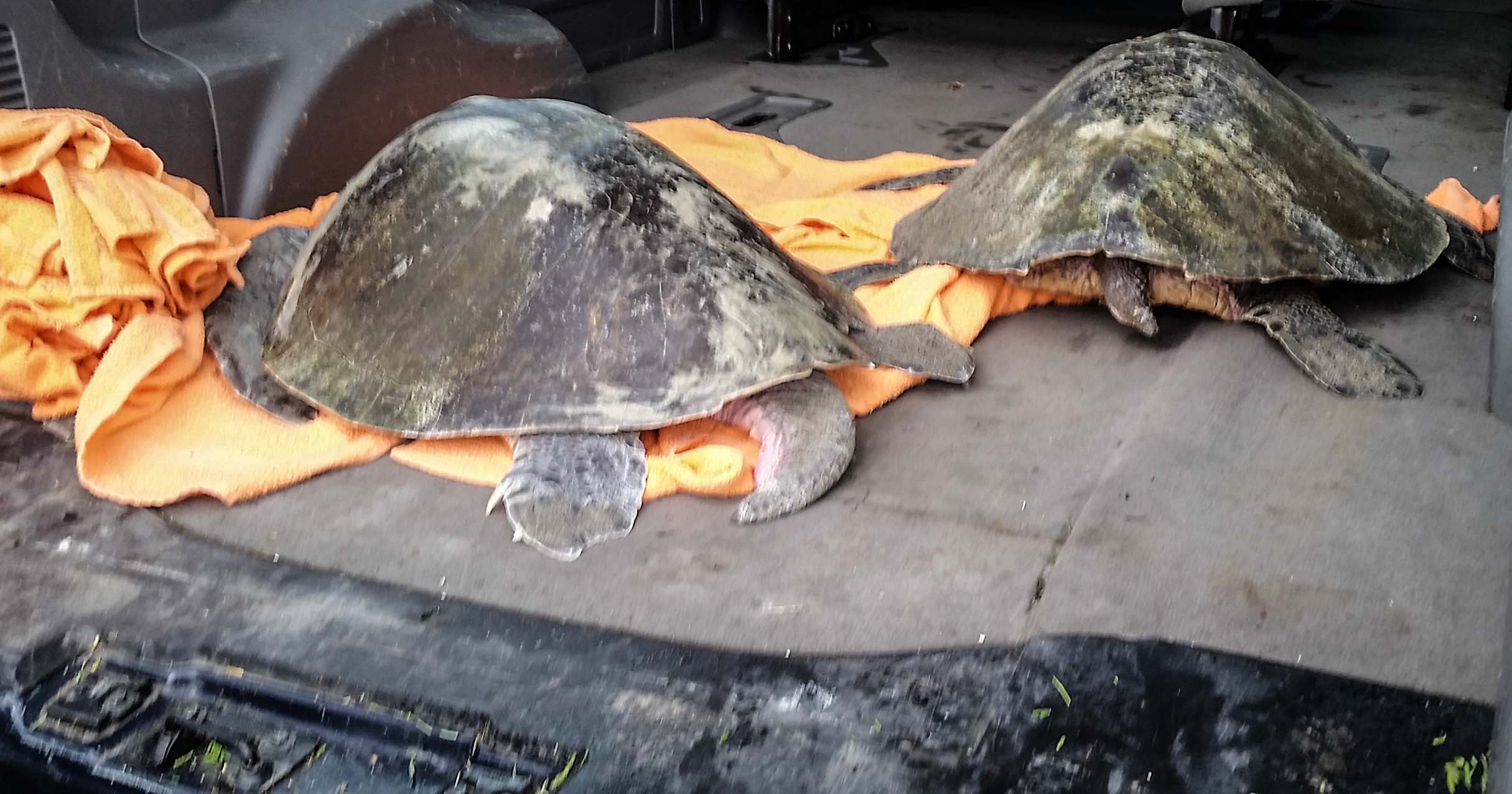 Two more endangered sea turtles washed up on Northwest beaches Monday. Both animals are now in the care of the Oregon Coast Aquarium, where a third turtle rescued December 10 is undergoing rehabilitation. Photos courtesy Oregon Coast Aquarium