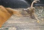CWD infected deer in truck bed, photo courtesy of WIDNR.JPG