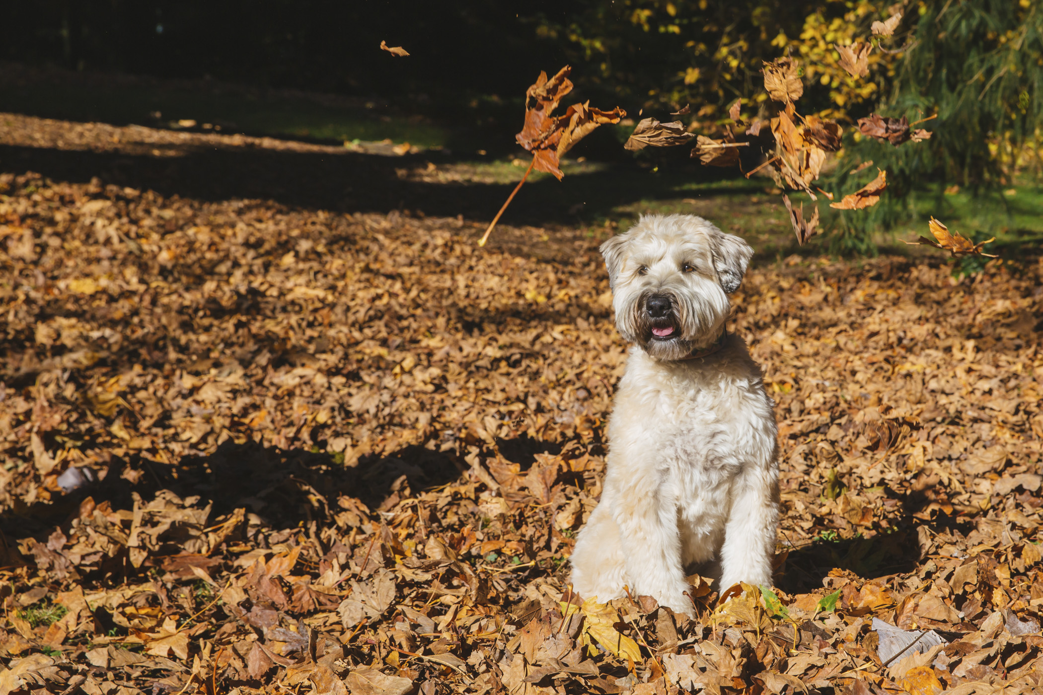 Meet Cleo, the 4-year-old Soft Coated Wheaten Terrier! She was born in Virginia, but is living a very happy life in the PNW where she can bury her face in the snow and go paddle-boarding in the Puget Sound. Cleo's other favorite pastimes include using the couch as a napkin after every meal, ccompanying her mom on snowshoe adventures, going on trail rides with her big (horse) brother, Benji, stalking squirrels and playing chase at Marymoor. She loves snow, the zoomies, hiking and her grandparents. She dislikes fireworks and cats! You can follow Cleo's journey through like on Instagram @cleowheatie.{ }{ }The Seattle RUFFined Spotlight is a weekly profile of local pets living and loving life in the PNW. If you or someone you know has a pet you'd like featured, email us at hello@seattlerefined.com or tag #SeattleRUFFined and your furbaby could be the next spotlighted! (Image: Sunita Martini / Seattle Refined)