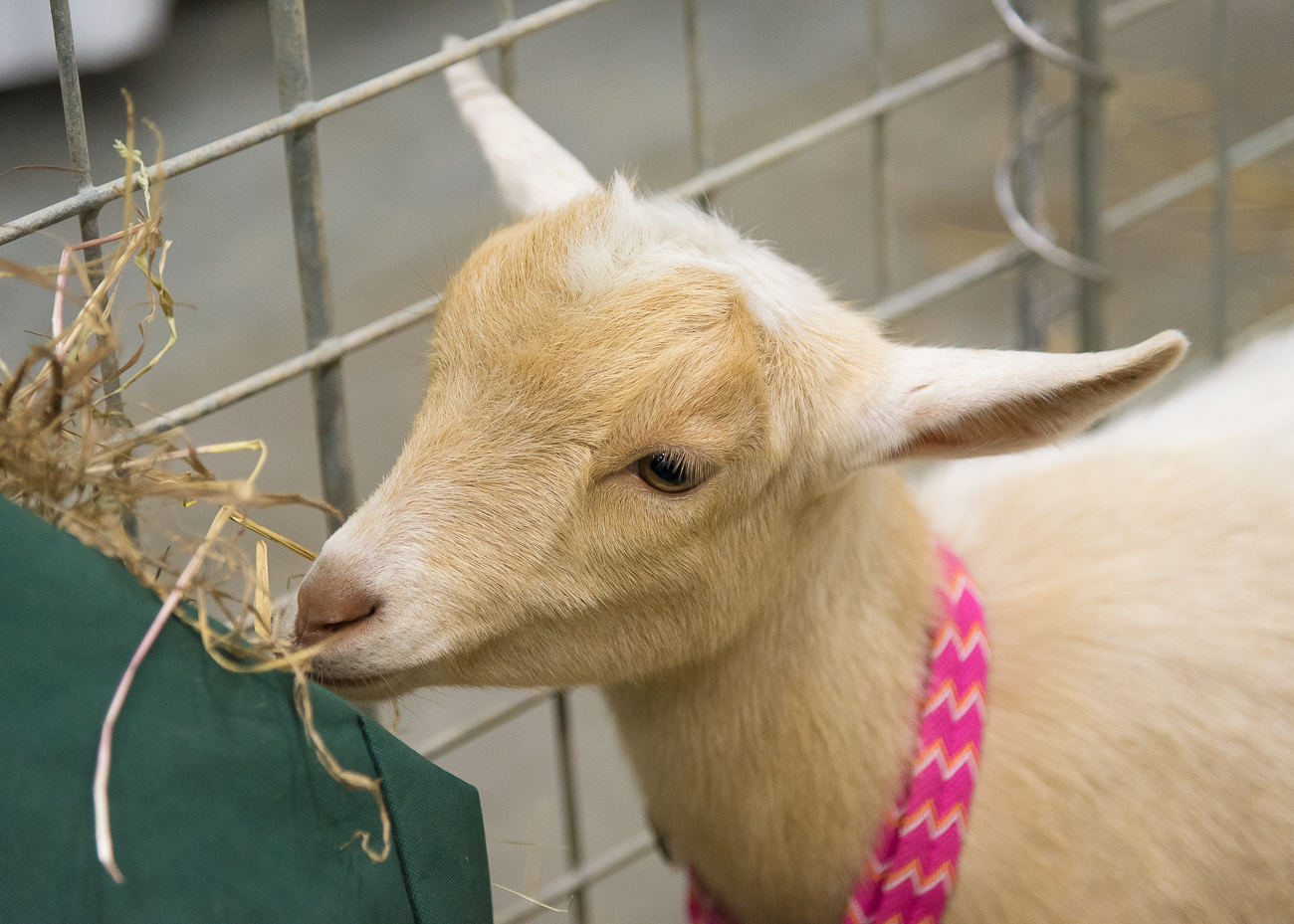 What Cincinnati event isn't complete without random baby goats in a pen? / Image: Phil Armstrong, Cincinnati Refined // Published: 11.3.18