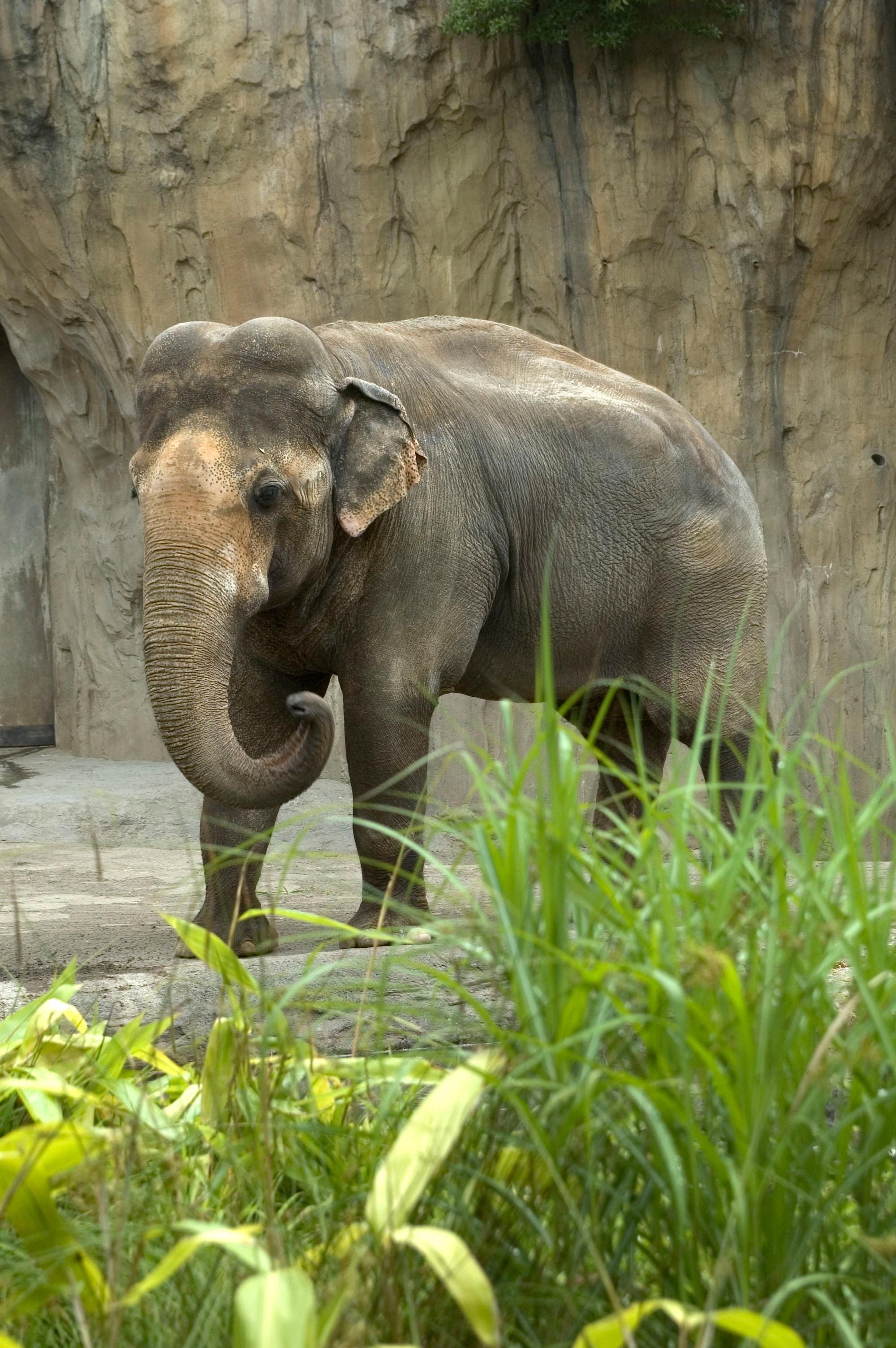 Oregon Zoo: Oregon Zoo Euthanizes Asian Elephant Tusko