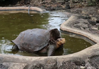 100-year-old tortoise, who had so much sex he saved his species, returning home AP (9).png