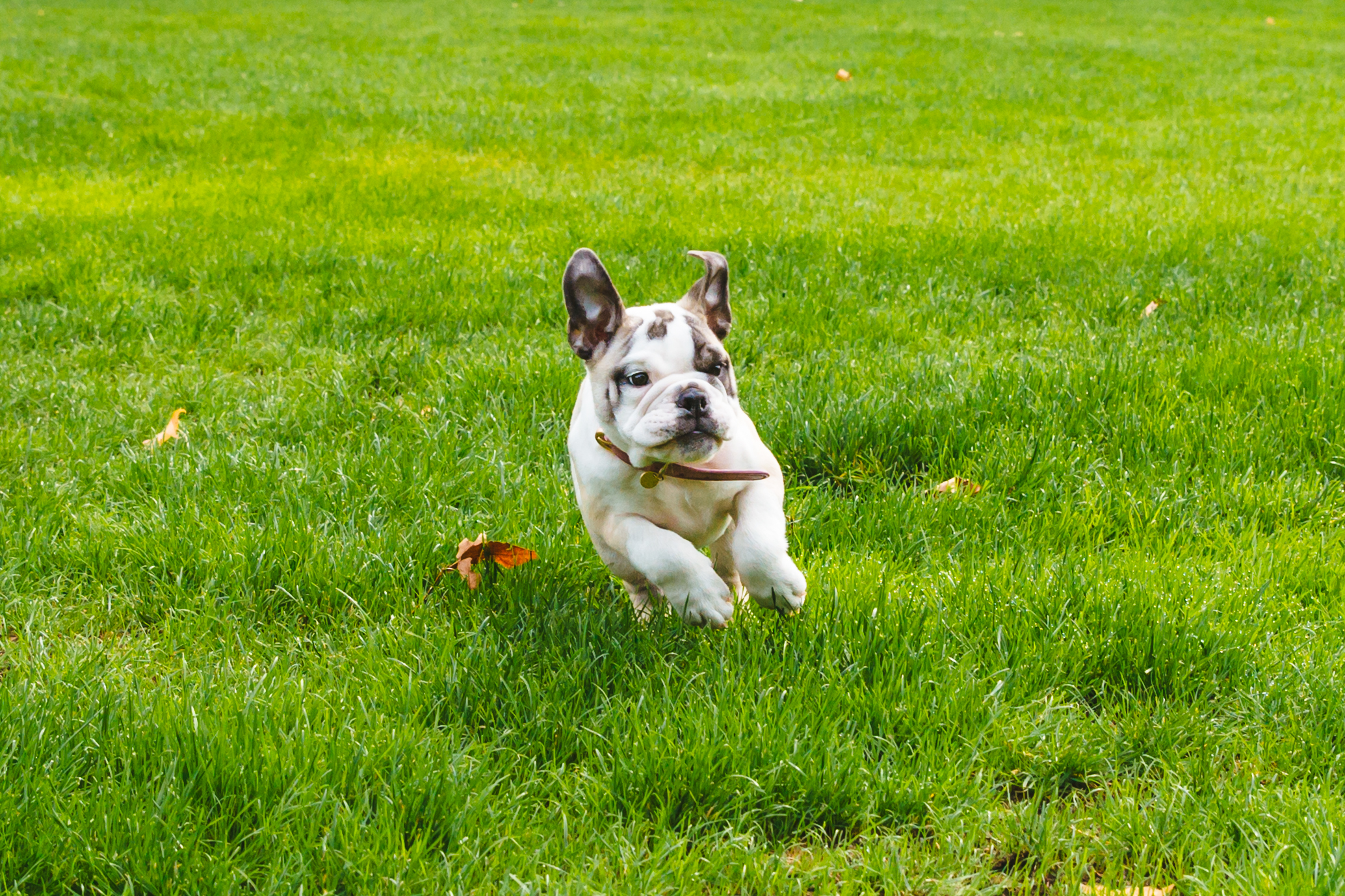 DOTTIE BABY! Oh man, I definitely clicked through this gallery about a hundred times before putting it together because Dottie Lou is the cutest baby boo boo I have ever laid my eyes on. Dottie Lou is 12 week old English Bulldog and was living the Whidbey Island life before settling down in Magnolia. Dottie likes attacking dandelions, apple slices, destroying her pee pads, sleeping on her back with all four legs in the air, stealing her mom's makeup brushes and hiding them in her crate. She dislikes going downstairs, walking in general, and her expensive dog food. The Seattle RUFFined Spotlight is a weekly profile of local pets living and loving life in the PNW. If you or someone you know has a pet you'd like featured, email us at hello@seattlerefined.com or tag #SeattleRUFFined and your furbaby could be the next spotlighted! (Image: Sunita Martini / Seattle Refined).