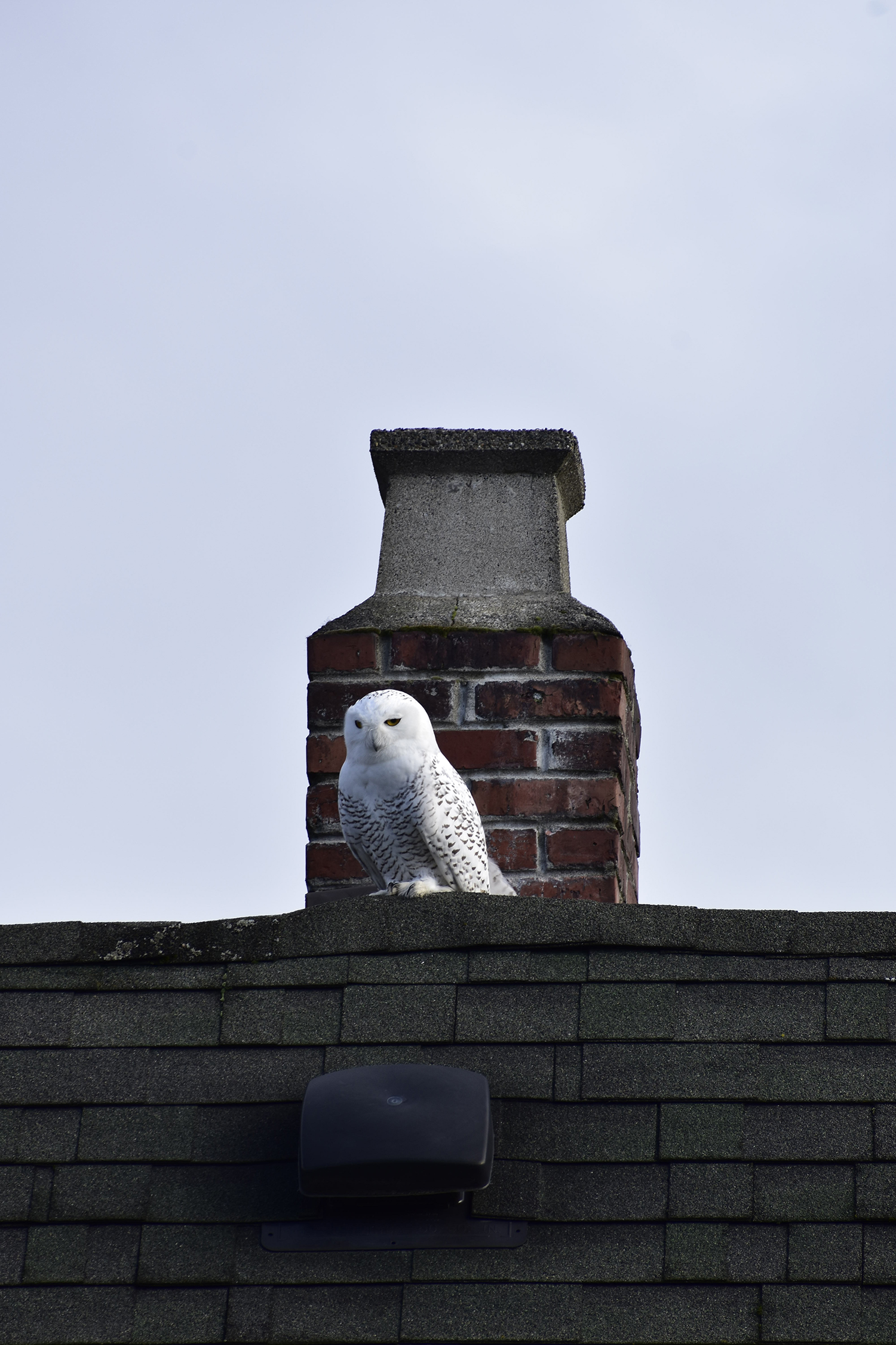Residents of Seattle's Queen Anne neighborhood have a new, exciting neighbor! A snowy owl (extremely rare for the PNW) has taken up residence in the neighborhood as of this week. Neighbors first reported the sighting on Nextdoor, and have been affectionally calling the owl (whose gender is unknown) 'Reina' due to the crown on her head.{ } Just in the two days since she was spotted, folks have been lining up for a glimpse wherever she's reported that day! No nest has been seen/heard of, as of this posting. (Image: Maile Anderson / Seattle Refined){ }
