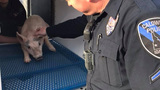 Pics: Caldwell PD takes three loose pigs into custody