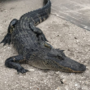 PETA offers $5,000 bounty for information on Indiantown alligator torture