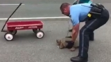Police and citizens help snapping turtle cross the street