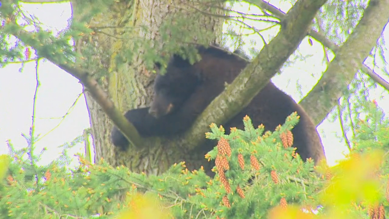 bear_in_tree_05.jpg