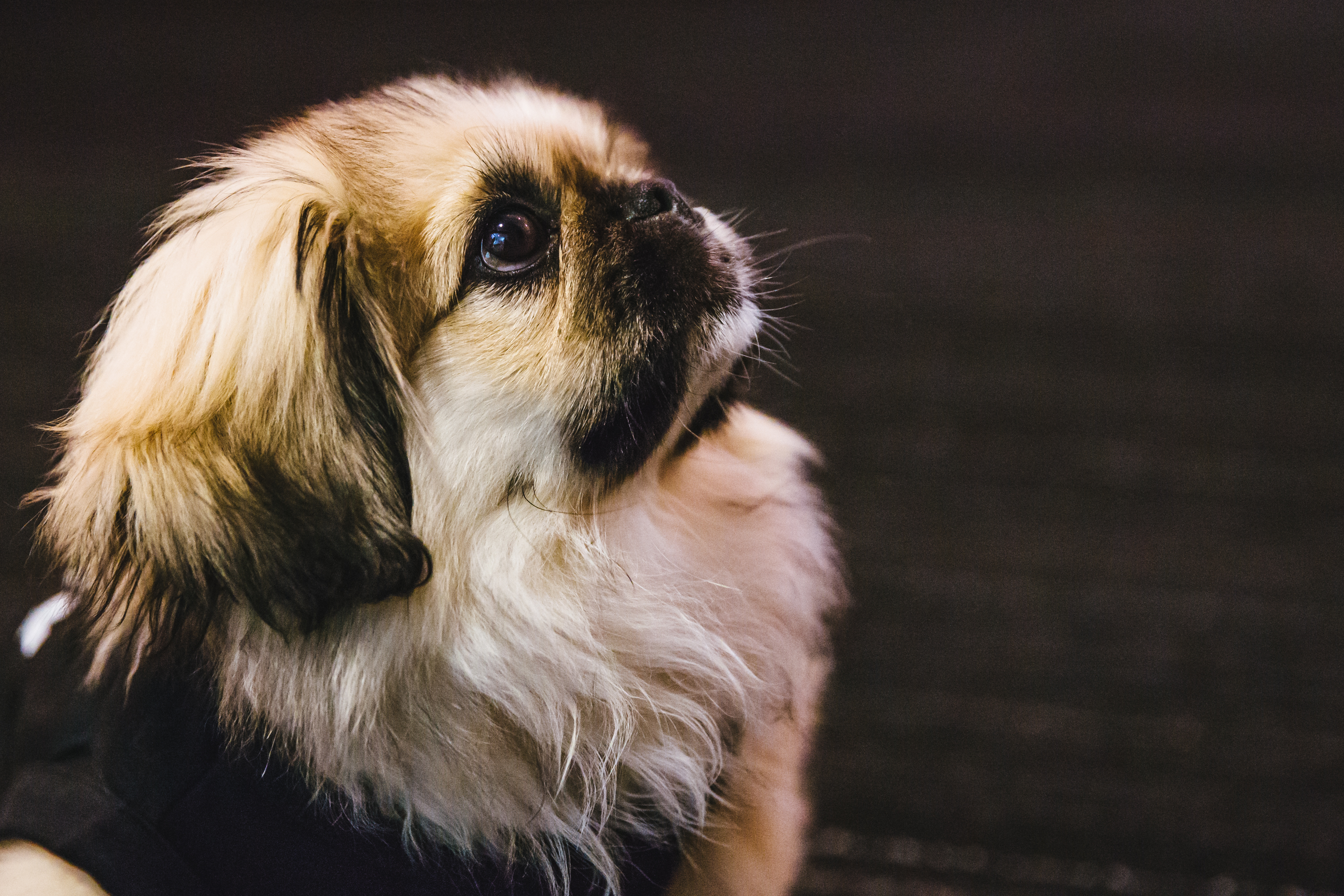 Everybody, meet Finn! He's the cutest Pekingese we've ever met. Finn is a four month old Pekingese who is already employed (we gotta go-getter over here) at The Mine. His job is to come into the office everyday and make each person's day brighter! So far he hasn't received a negative review. Thatta BOY, Finn! When he's not cuddled up on a desk taking a nap, you can find him running up and down the halls or posing for the camera (as you can tell he's a natural.) Finn has 400 people he works with and he makes time for everyone who needs a little cheering up! Finn likes playing with balls and toys, taking naps, and meeting new friends. The one, and only thing, he dislikes is peanut butter. The Seattle RUFFined Spotlight is a weekly profile of local pets living and loving life in the PNW. If you or someone you know has a pet you'd like featured, email us at hello@seattlerefined.com or tag #SeattleRUFFined and your furbaby could be the next spotlighted! (Image: Sunita Martini / Seattle Refined)