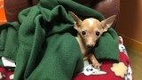 Shelter offers reward for information leading to owner of Chihuahua found in trash