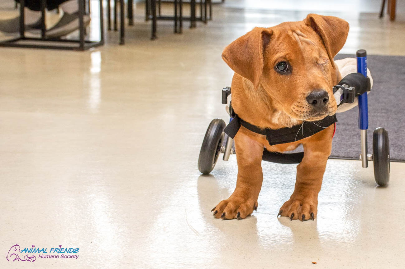 Trooper tests out his wheelchair after losing his hind legs in a train accident. / Image courtesy of Animal Friends Humane Society // Published: 9.8.19