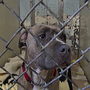 Nature or nurture: Debate over pit bulls growing on social media