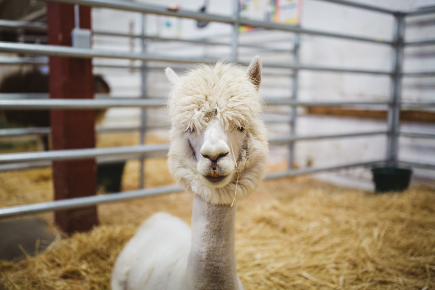 The Washington State Fair boasts an impressive array of farm animals, and we managed to make our way inside to see what cuteness we could find! Bunnies, goats, llamas, cows, and pigs filled the stables, and with a variety of personalities, it is definitely worth your time to meet some of these furry friends. (Image: Ryan McBoyle / Seattle Refined)