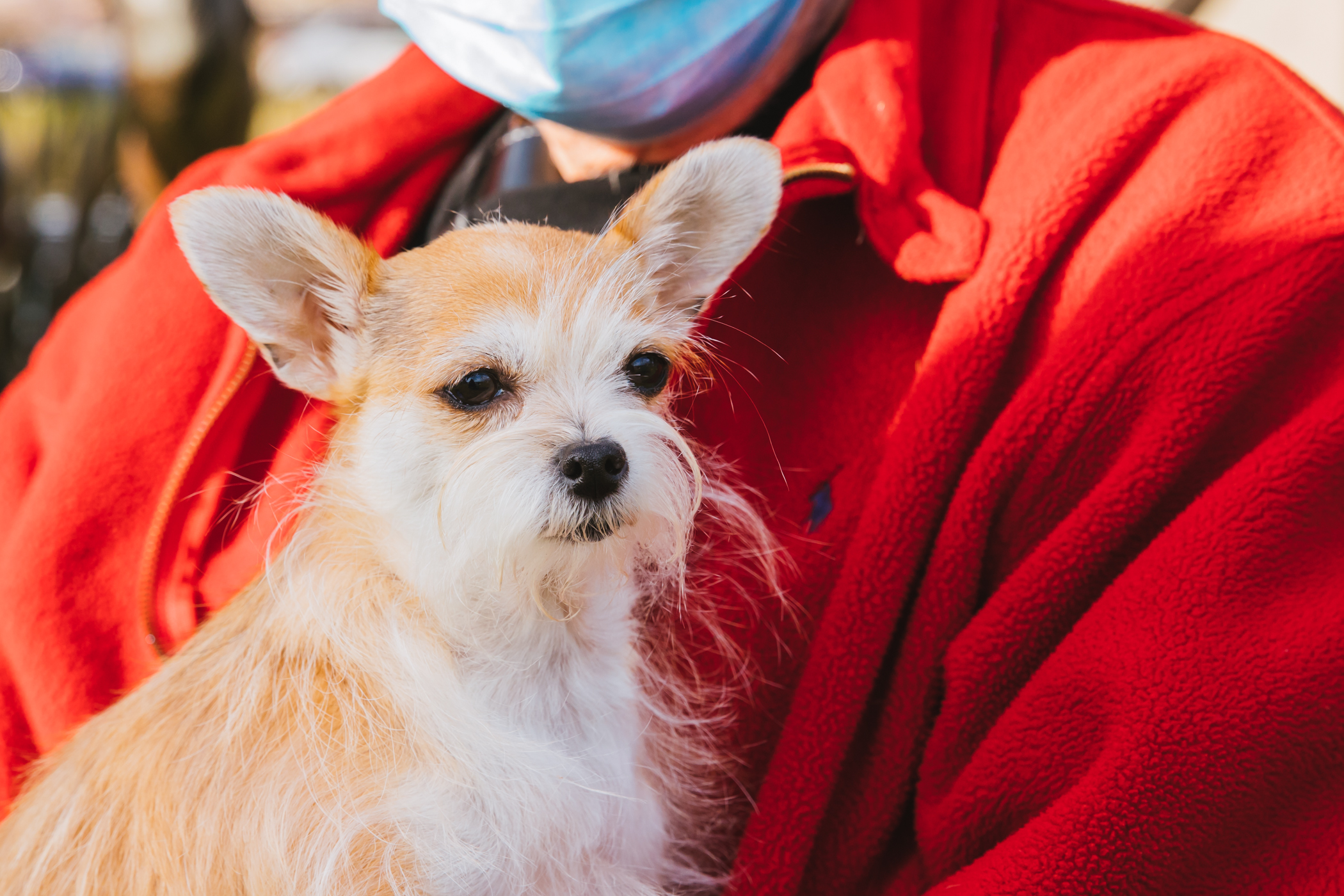 "Sweet little Ana Lewis is a 3-year-old Chihuahua-Yorkie who LOVES to ride in the car, go on shopping trips, and is inseparable from her dad. She doesn't really like other doggos, much prefers her humans.{&nbsp;}<a  href=""http://seattlerefined.com/ruffined"" target=""_blank"">The RUFFined Spotlight</a>{&nbsp;}is a weekly profile of local pets living and loving life in the PNW. If you or someone you know has a pet you'd like featured, email us at{&nbsp;}, and your furbaby could be the next spotlighted! (Image: Sunita Martini / Seattle Refined)"