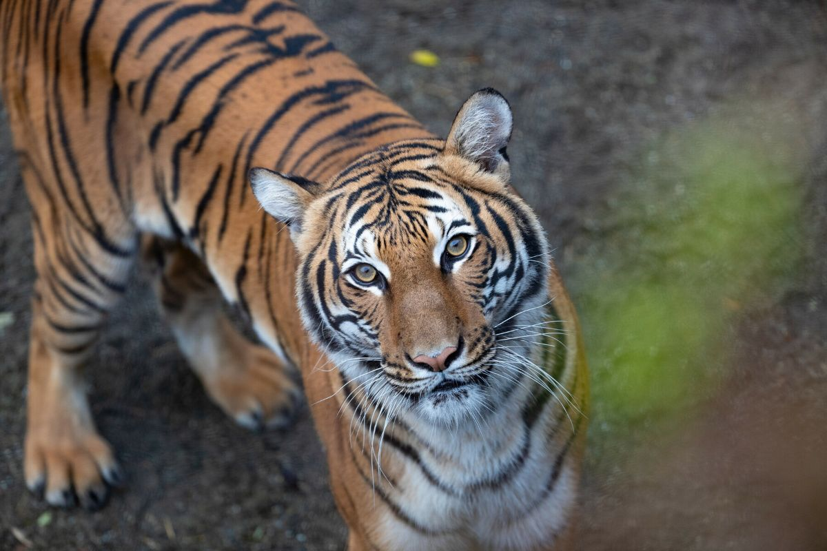 "The Woodland Park Zoo has a new queen - meet 5-year-old{&nbsp;}Azul, the{&nbsp;}<a  href=""https://www.zoo.org/tigers"" target=""_blank"" title=""https://www.zoo.org/tigers"">first female{&nbsp;}Malayan tiger</a>{&nbsp;}at WPZ. Born in 2016 at the{&nbsp;}Bronx Zoo in New York,{&nbsp;}Azul made her way to Seattle and has spent the last month or so in quarantine under the watch of WPZ's{&nbsp;}veterinary care team. The hope is for Azul and the zoo's 10-year-old tiger,{&nbsp;}Bumi, to eventually mate and have a litter of{&nbsp;}Malayan tiger cubs, as recommended by the{&nbsp;}Association of Zoos & Aquariums'{&nbsp;}<a  href=""https://www.aza.org/tiger-conservation?locale=en#:~:text=The%20AZA%20Tiger%20Species%20Survival,%2C%20Malayan%2C%20and%20Sumatran%20tigers."" target=""_blank"" title=""https://www.aza.org/tiger-conservation?locale=en#:~:text=The%20AZA%20Tiger%20Species%20Survival,%2C%20Malayan%2C%20and%20Sumatran%20tigers."">Malayan Tiger Species Survival Plan</a>. This breeding program aims to foster a{&nbsp;}healthy, self-sustaining population of tigers. (Image:{&nbsp;}Jeremy Dwyer-Lindgren/Woodland Park Zoo){&nbsp;}"
