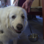 Great Pyrenees makes it out of Hurricane Harvey to the Rogue Valley