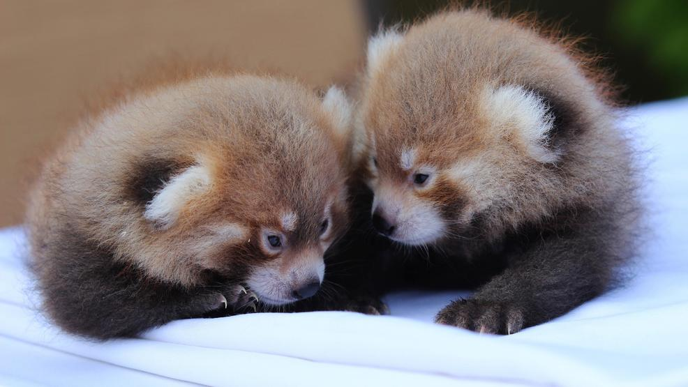 it s twin boys baby red pandas born at rosamond gifford zoo wstm