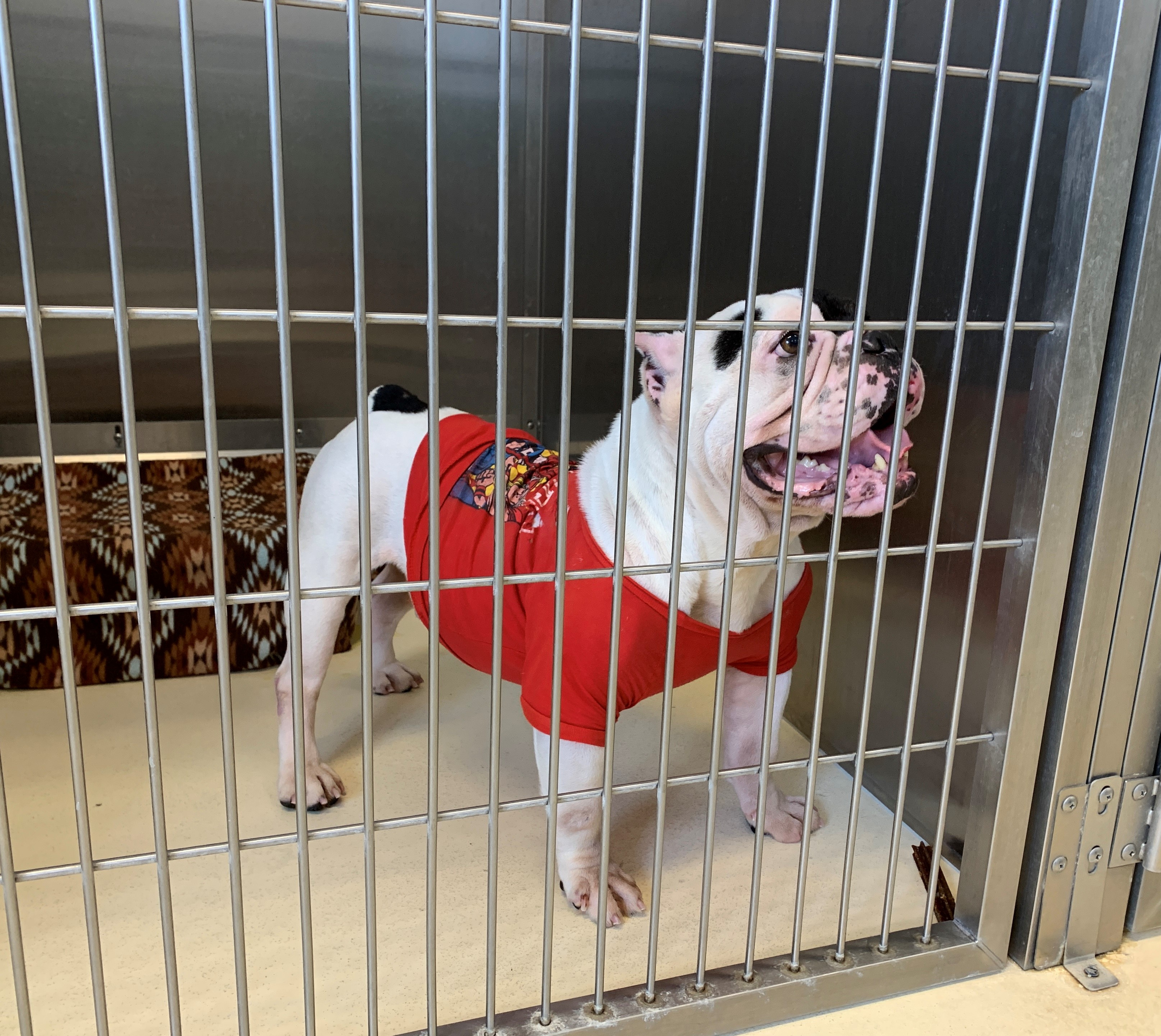 Rocky is a male English bulldog.{ }(WWMT/Trisha McCauley)