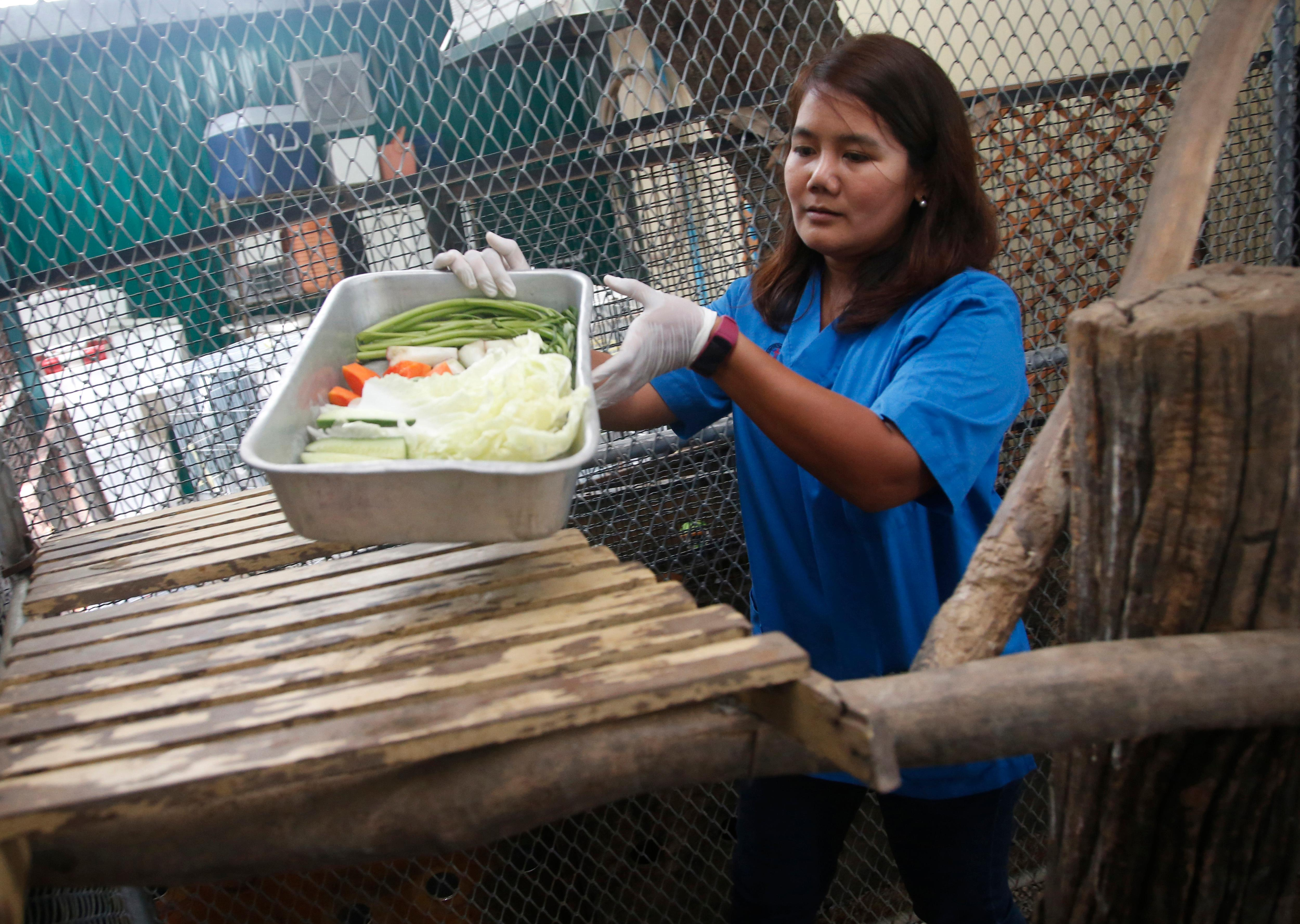 "Veterinarian Supakan Kaewchot prepares fresh food for a wild obese macaque, called ""Uncle Fat"" at rehabilitation center Bangkok, Thailand, Friday, May 19, 2017. The morbidly obese wild monkey, who gorged himself on junk food and soda from tourists, has been rescued and placed on a strict diet. (AP Photo/Sakchai Lalit)"