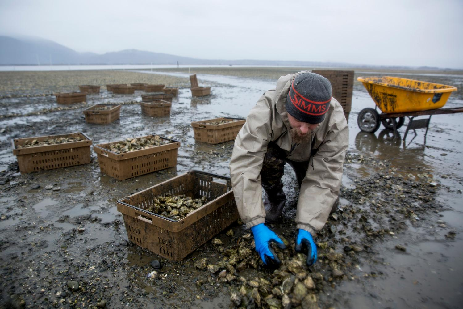 An employee scoops up a handful of oysters of the beach of Samish Bay to be transplanted in deeper waters. (Sy Bean / Seattle Refined)