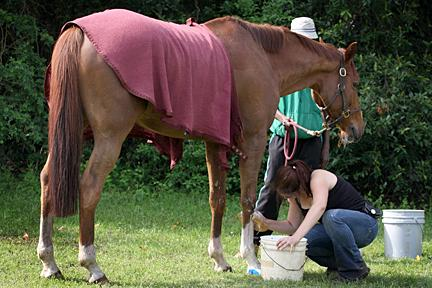 A horse is cooled down after a workout. Blankets are used to ensure the horses do not cool down too quickly.
