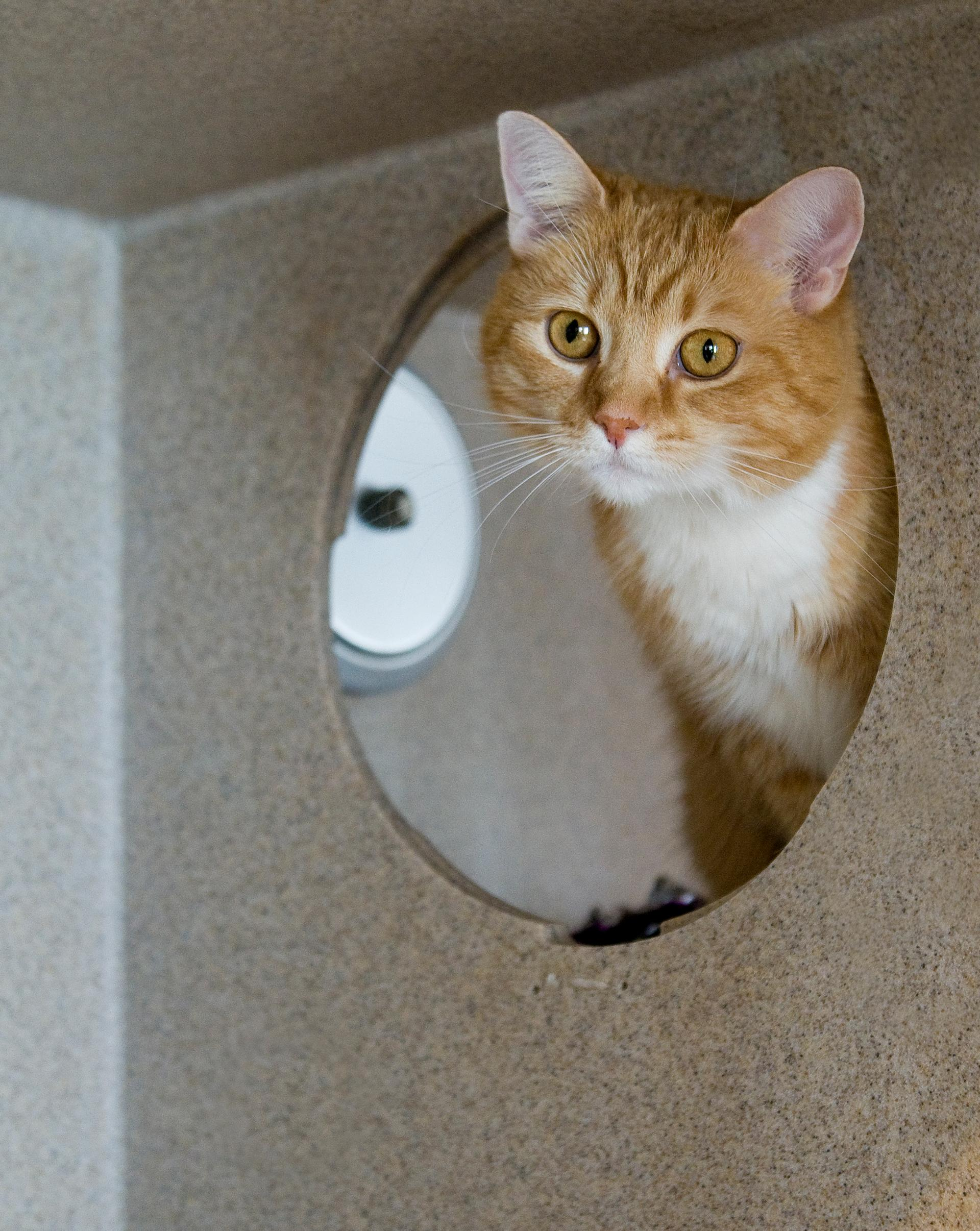 This orange and white beauty is looking for a new home after her owners could no longer care for her. Her friendly, playful demeanor has quickly made her a favorite with staff and volunteers. (Humane Rescue Alliance)