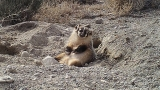 Video: Badger buries cow carcass in Utah, shocks science world