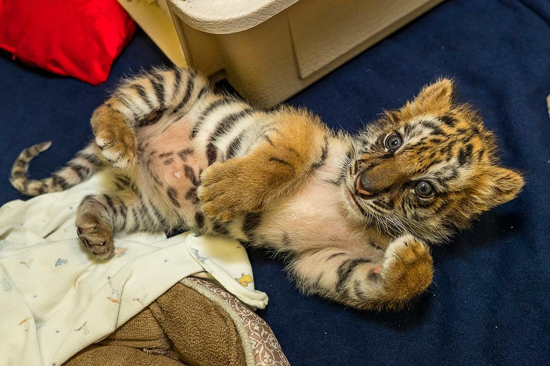 A small male Bengal tiger cub was brought to the Paul Harter Veterinary Hospital at the San Diego Zoo Safari Park on Wednesday, August 23, 2017. (Photo courtesy San Diego Zoo Global)