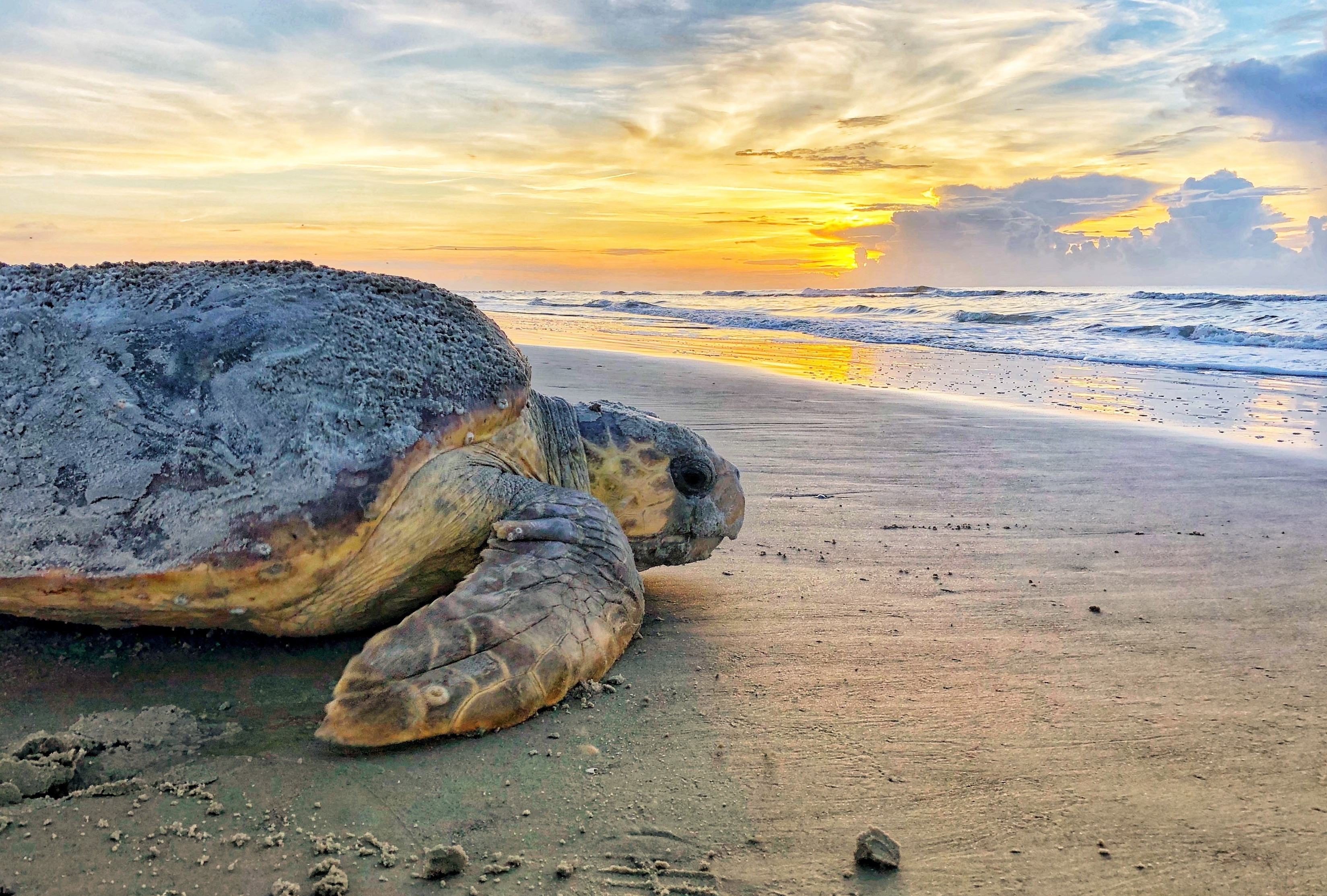 In this June 30, 2019, photo provided by the Georgia Department of Natural Resources, a loggerhead sea turtle returns to the ocean after nesting on Ossabaw Island, Ga. The giant, federally protected turtles are having an egg-laying boom on beaches in Georgia, South Carolina and North Carolina, where scientists have counted record numbers of nests this summer. (Georgia Department of Natural Resources via AP)