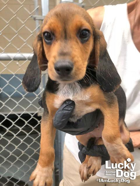 Marley is a 12-week-old, 12-pound Beagle who was evacuated before the storm from{ }Florence, South Carolina. If you are interested in adopting Marley, you can meet her{ }Sunday (September 16) from 12-2 pm at the Kentlands PetSmart in Gaithersburg, MD. (Image: Courtesy Lucky Dog Animal Rescue){ }