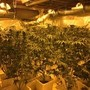 Large pot grow operations busted in Auburn, Seattle