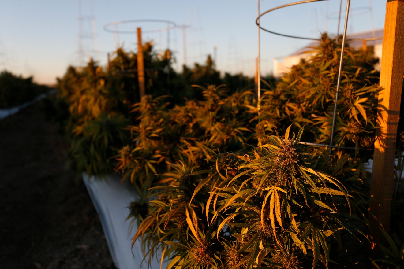 In this Oct. 10, 2016 photo, the morning sun hits rows of maturing pot plants at Los Suenos Farms, America's largest legal open air marijuana farm, in Avondale, southern Colo. For the fall 2016 harvest, the farm's 36-acres are expected to yield 5 to 6 tons. (AP Photo/Brennan Linsley)