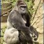 Gorilla killed after 4-year-old falls into enclosure at Cincinnati Zoo