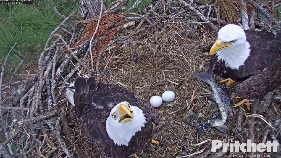 Eagle Egg Hatching Bald eagle eggs hatchi...