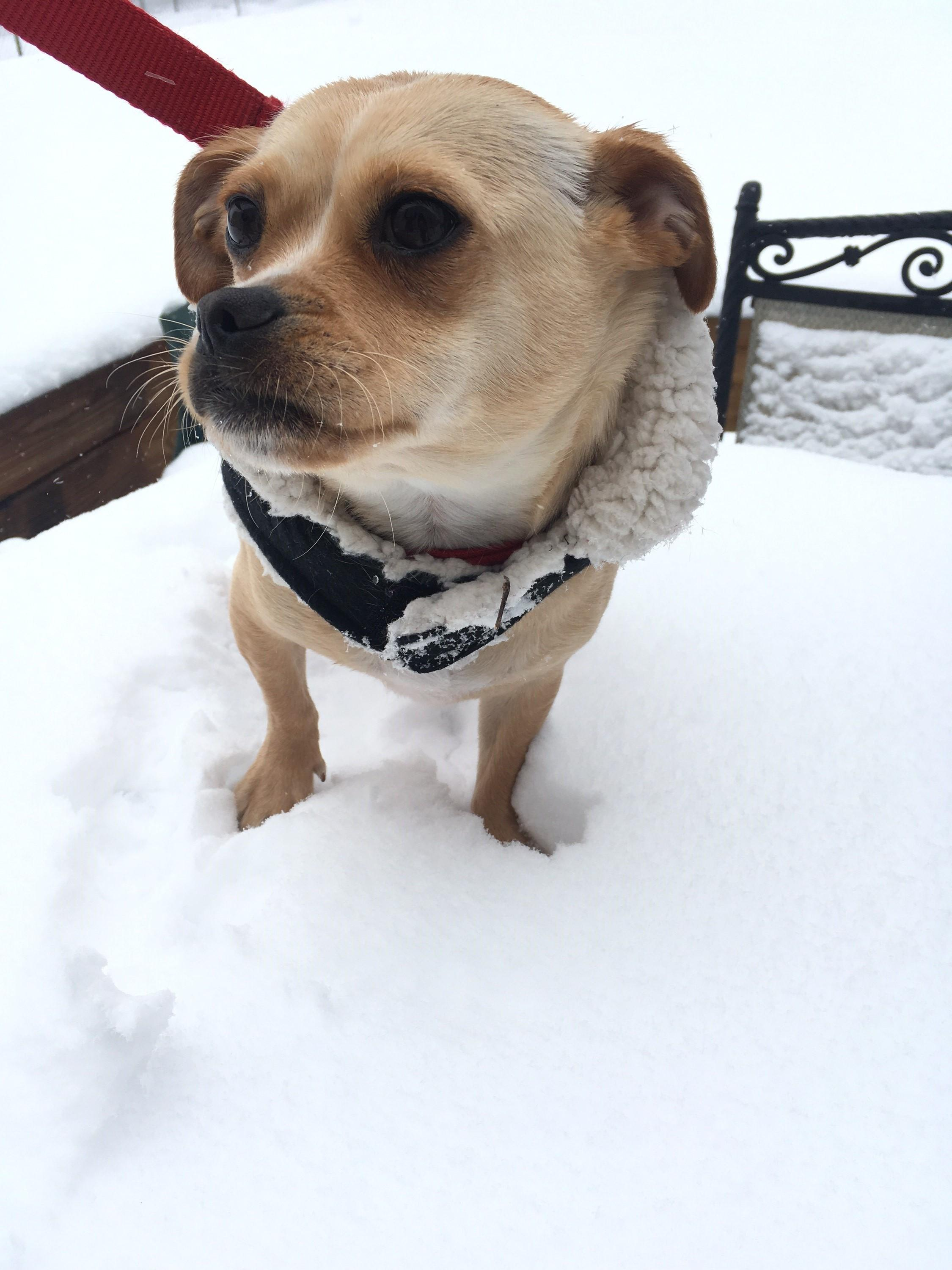 D.C. finally got its first real snowfall of the season -- on March 21! Given that it's the probably the only flakes we'll see for a while, the pups of the DMV decided to really live it up. Check out a few of the adorable pets we spotted chilling in the snow today!  (Image: Courtesy Deepica Singh)
