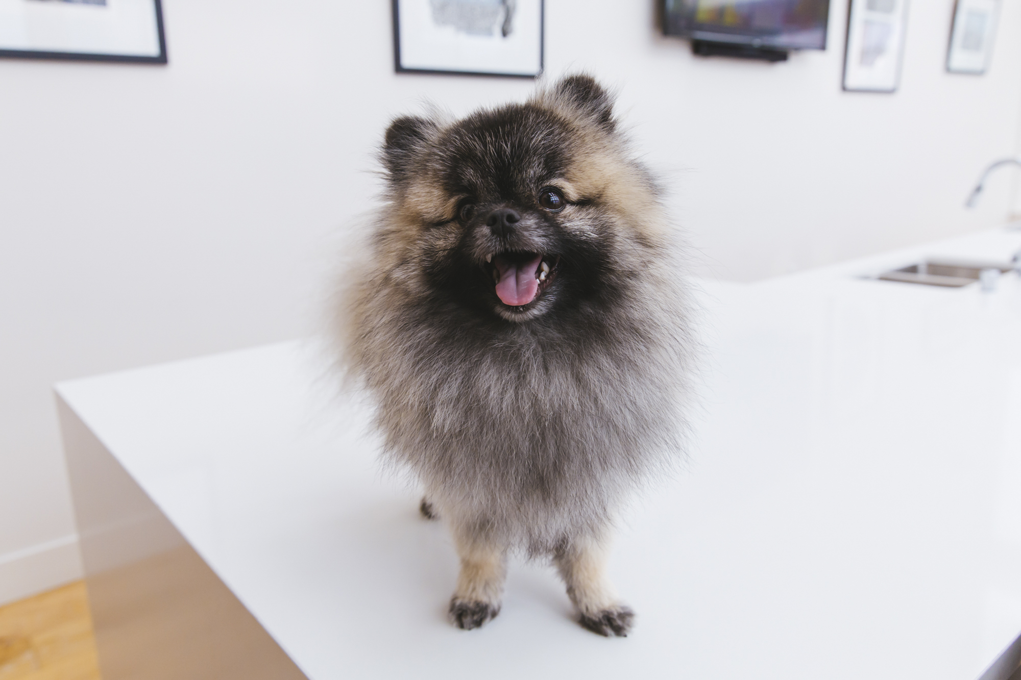 <p>OMG PEPPERJACK IS THE CHEESE BALL EVERYONE DESERVES! Meet Pepperjack, this beautiful one-year-old Pomeranian who was rescued from South Korea by an organization based in New Jersey. He took the international trek to Seattle and can be found strolling around South Lake Union and going to work at Amazon HQ. When he's not prancing around town, Pepperjack loves hanging with his fellow Poms at Pomeranian meetups (swoooon, how can we go to one of those?).{&amp;nbsp;} Pepperjack loves cheese, outdoor adventures, belly rubs, veggies, napping and puppucinos. He dislikes vacuums and getting groomed. You can follow PJ's journey through life on instagram @pepperjackthepom.{&amp;nbsp;}The Seattle RUFFined Spotlight is a weekly profile of local pets living and loving life in the PNW. If you or someone you know has a pet you'd like featured, email us at hello@seattlerefined.com or tag #SeattleRUFFined and your furbaby could be the next spotlighted! (Image: Sunita Martini / Seattle Refined).</p>