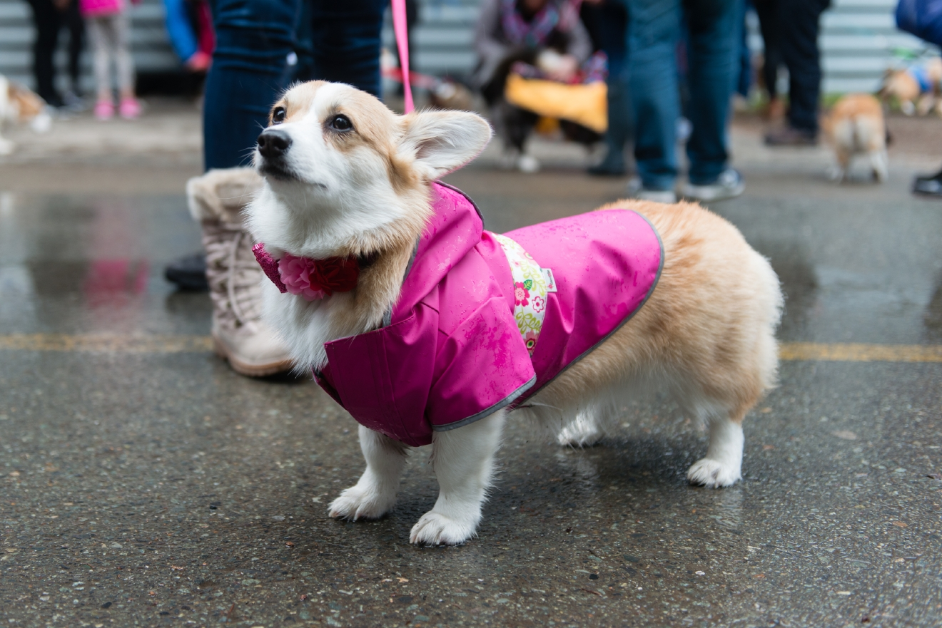 Corgis Of All Shapes And Sizes Gathered At Rainy Greenlake On Saturday  February 18 To Cruise