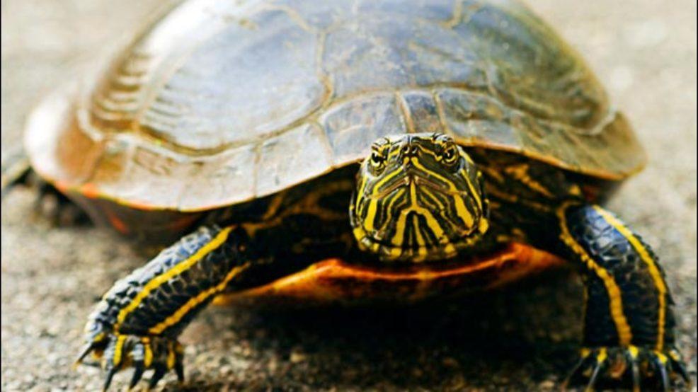 Florida teen girls film selves torturing, killing tortoise