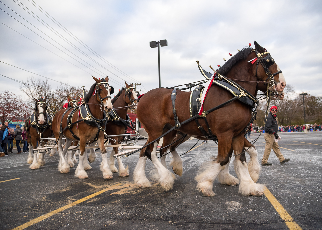 Clydesdales are originally Scottish horses that have been bred over time to be larger in size than they were back in 1933. The Budweiser Clydesdales originated in St. Louis when August A. Busch, Jr. gifted the horses to his father, August Anheuser, with a wagon attached that paraded the first case of post-Prohibition beer down a prominent street in St. Louis. The horses made the 350-mile journey to Bellevue from Missouri. / Image: Phil Armstrong, Cincinnati Refined // Published: 11.29.18