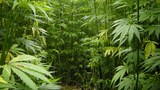 Missouri House gives initial approval to industrial hemp
