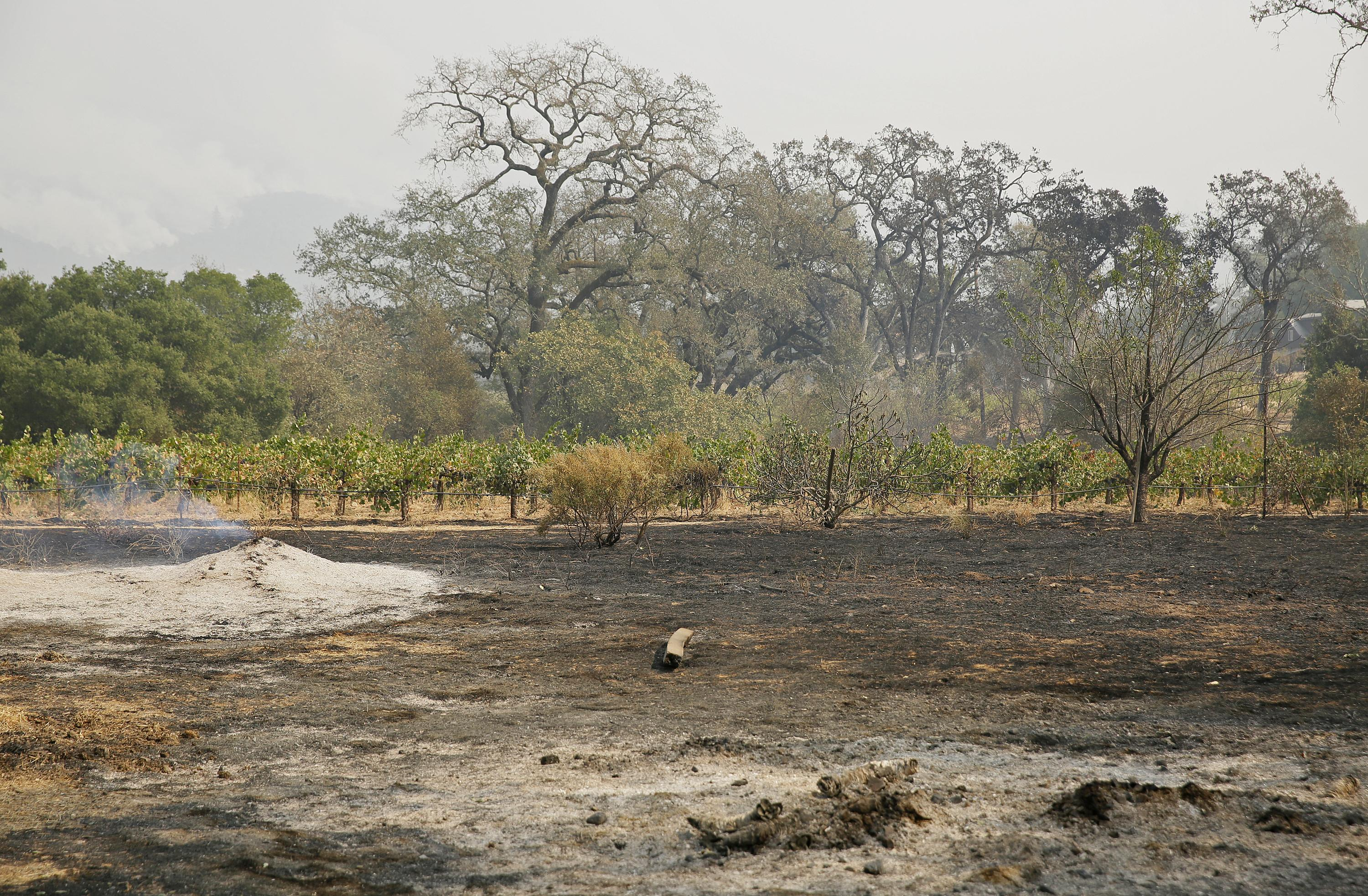 The ground smolders along the vineyard at Old Hill Ranch Tuesday, Oct. 10, 2017, near Glen Ellen, Calif. Workers in Northern California's renowned wine country picked through charred debris and weighed what to do with pricey grapes after wildfires swept through lush vineyards and destroyed at least two wineries and damaged many others. (AP Photo/Eric Risberg)