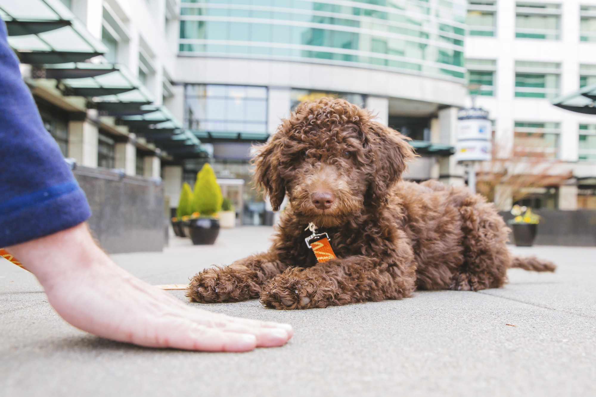 Timber is a new addition to our KOMO family! He is a 3.5 month old Goldendoodle who has lots of high energy and requires lots of attention. He loves meeting new people, making them happy and gives lots of love and attention. He likes people, interactive toys, tug of war and treats. He dislikes car rides because he gets sick every time in the car.{ }The Seattle RUFFined Spotlight is a weekly profile of local pets living and loving life in the PNW. If you or someone you know has a pet you'd like featured, email us at hello@seattlerefined.com or tag #SeattleRUFFined and your furbaby could be the next spotlighted! (Image: Sunita Martini / Seattle Refined).