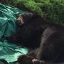 Lakewood bear gets darted, takes nap and trip
