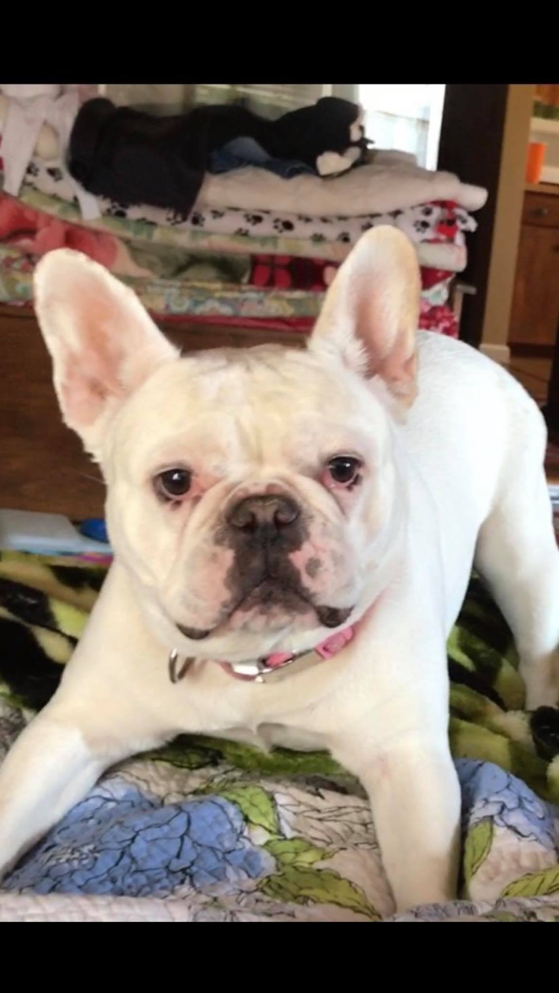 A Tulare County woman is now searching to find her French Bulldog.  She says 7-year-old Petunia was stolen from a store parking lot in Visalia.