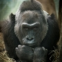 Colo, the first gorilla born in human care, passes away at age 60